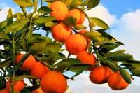 Our Mandarins